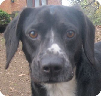 Spaniel (Unknown Type)/Beagle Mix Dog for adoption in Jacksonville, Florida - Chester