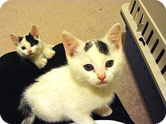 American Shorthair Kitten for adoption in Acushnet, Massachusetts - Wyatt and Watson