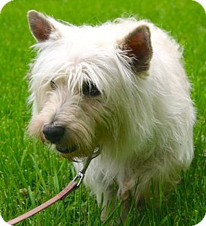 Westie, West Highland White Terrier Dog for adoption in Newtown, Connecticut - Molly