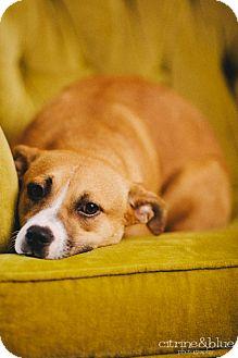 Australian Cattle Dog/Staffordshire Bull Terrier Mix Dog for adoption in Portland, Oregon - Raisin