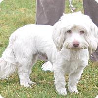Adopt A Pet :: Lainey - Tumwater, WA