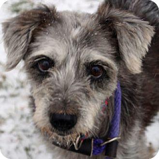 Schnauzer (Standard)/Schnauzer (Miniature) Mix Dog for adoption in Eatontown, New Jersey - Nadia