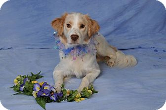Brittany/Spaniel (Unknown Type) Mix Dog for adoption in mishawaka, Indiana - Lady