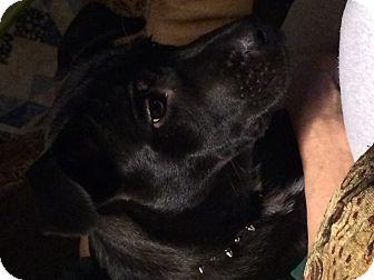 Labrador Retriever/Chow Chow Mix Puppy for adoption in Albemarle, North Carolina - Turbo