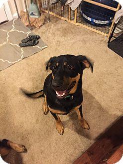 Rottweiler/Hound (Unknown Type) Mix Puppy for adoption in Manassas, Virginia - Bear *adoption pending*