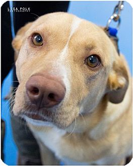 Labrador Retriever Mix Dog for adoption in Newburgh, Indiana - Jessie