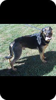 German Shepherd Dog Mix Dog for adoption in Danbury, Connecticut - Lancaster