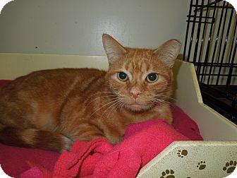 Domestic Shorthair Cat for adoption in Medina, Ohio - Olivia
