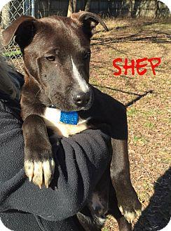 Labrador Retriever/Terrier (Unknown Type, Medium) Mix Puppy for adoption in Glastonbury, Connecticut - Shep