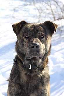 Chow Chow/Shepherd (Unknown Type) Mix Dog for adoption in South Haven, Michigan - Bear-In foster