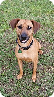 Hound (Unknown Type)/Terrier (Unknown Type, Small) Mix Dog for adoption in Bryan, Texas - Kasey