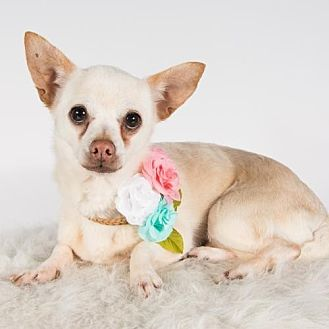 Chihuahua Dog for adoption in St. Louis Park, Minnesota - Queso