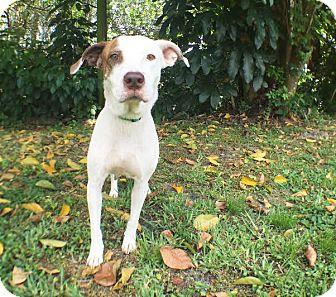 Labrador Retriever Mix Dog for adoption in Boca Raton, Florida - Jill