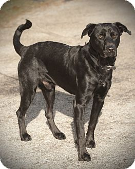 Labrador Retriever Mix Dog for adoption in Austin, Texas - Rustler