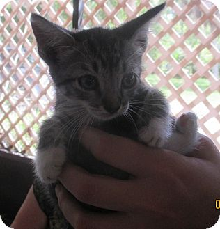 Domestic Shorthair Kitten for adoption in Mims, Florida - Tootsie