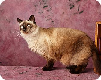 Balinese Cat for adoption in Harrisonburg, Virginia - Helen Purrin