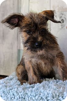 Terrier (Unknown Type, Medium) Mix Puppy for adoption in Waldorf, Maryland - James