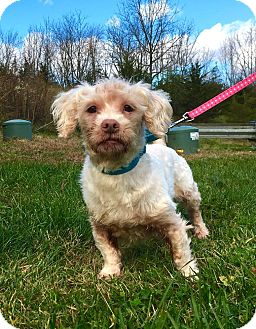 Shih Tzu/Maltese Mix Dog for adoption in Lafayette, New Jersey - Tiggy
