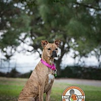 Adopt A Pet :: Daphne - Oceanside, CA