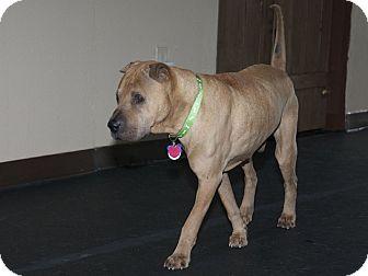Shar Pei Dog for adoption in Houston, Texas - Pompei