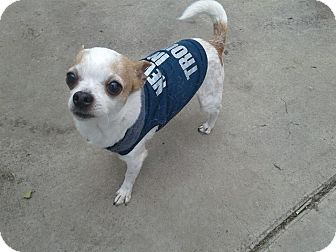 Chihuahua Mix Dog for adoption in Brea, California - CHIQUITO
