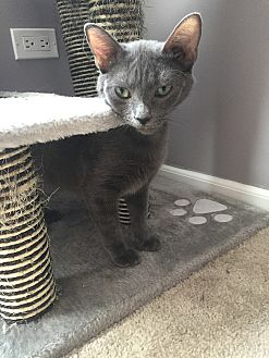 Domestic Shorthair Kitten for adoption in LaGrange Park, Illinois - Meredith Grey