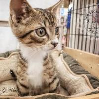Domestic Shorthair/Domestic Shorthair Mix Cat for adoption in Roseburg, Oregon - Jackson