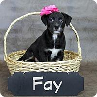 Adopt A Pet :: Fay - Joliet, IL