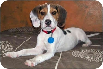 Beagle Puppy for adoption in Latrobe, Pennsylvania - Jake