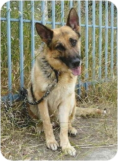 German Shepherd Dog Mix Dog for adoption in Los Angeles, California - Sage von Sullivan