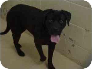 Boxer/Labrador Retriever Mix Dog for adoption in Rochester Hills, Michigan - Ebony