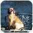 Photo 3 - Bullmastiff Dog for adoption in Phoenix, Arizona - CALLIE
