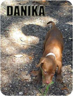 Labrador Retriever Mix Puppy for adoption in Weeki Wachee, Florida - Danika