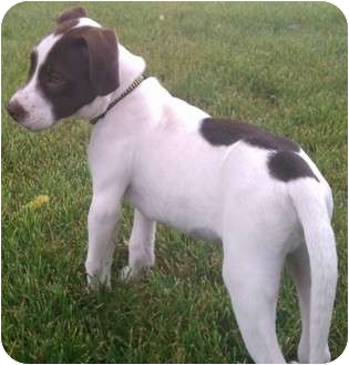 Pointer Mix Puppy for adoption in Plainfield, Illinois - Turbo