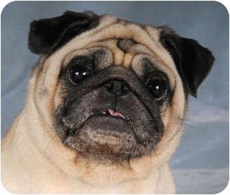 Pug Dog for adoption in Chicago, Illinois - Bunny & Eveready