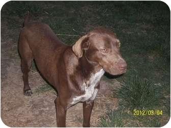 German Shorthaired Pointer/Labrador Retriever Mix Dog for adoption in Farmingtoon, Missouri - Daisy