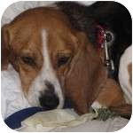 Beagle Mix Dog for adoption in Eatontown, New Jersey - Hunter