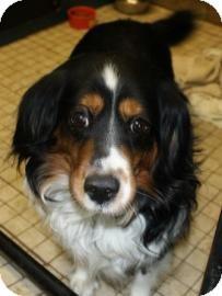 Sheltie, Shetland Sheepdog Mix Dog for adoption in West Des Moines, Iowa - Banjo