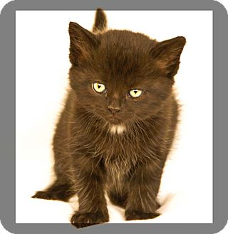 Domestic Shorthair Cat for adoption in Newland, North Carolina - Aries