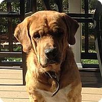 Adopt A Pet :: Chance - Denver, CO