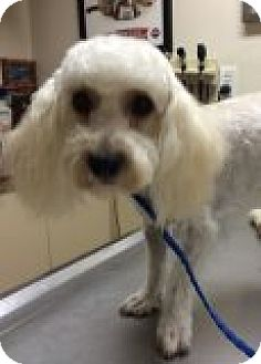 Poodle (Toy or Tea Cup)/Dandie Dinmont Terrier Mix Puppy for adoption in Santa Ana, California - Ginger