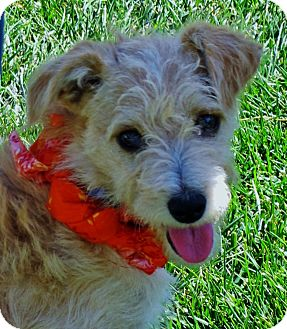 Jack Russell Terrier/Cairn Terrier Mix Puppy for adoption in Irvine, California - Buster
