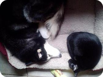Domestic Shorthair Cat for adoption in Satellite Beach, Florida - Larry