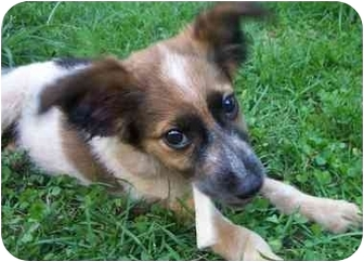 Sheltie, Shetland Sheepdog Mix Puppy for adoption in all of, Connecticut - Carlos-pending