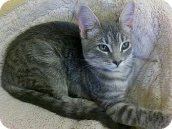 Domestic Shorthair Kitten for adoption in Lake Charles, Louisiana - Fiona