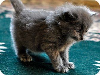 Domestic Shorthair Kitten for adoption in Great Falls, Montana - Lacey