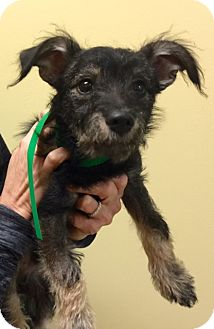 Schnauzer (Miniature)/Poodle (Miniature) Mix Puppy for adoption in Oswego, Illinois - I'M ADOPTED Riley Harrison