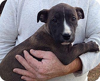 Corgi/Border Collie Mix Puppy for adoption in Burlington, Vermont - Onyx (10 lb)