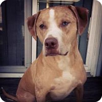 Catahoula Leopard Dog Mix Dog for adoption in Breinigsville, Pennsylvania - Brolly