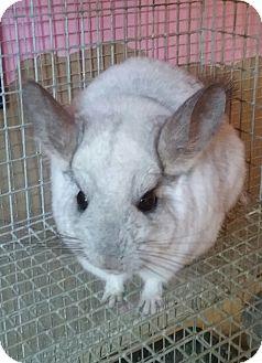 Chinchilla for adoption in Granby, Connecticut - Daisy